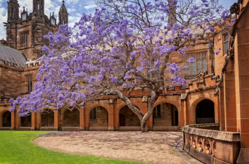 The legendary jacaranda tree in the Quadrangle at Sydney University in 2015. Next year it was sadly uprooted and the university lost one of its beloved icons.